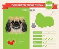 Pekingese Dog breed  infographics. Royalty Free Stock Photography