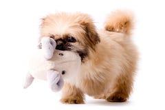 Pekingese Dog Brings You His Toy Royalty Free Stock Image