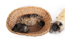 Pekingese dog and cat. Dog, cat and basket on white background stock images