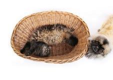 Pekingese dog and cat Stock Images
