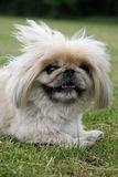 Pekingese dog close-up. Happy Pekingese dog taking a rest on green grass in close-up Royalty Free Stock Photos