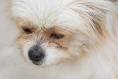 A Pekingese dog Stock Photo