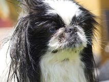 Pekingese. Dog with eyes of two colors stock photos