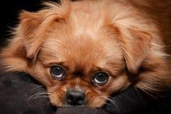 Pekingese dog face Stock Photo