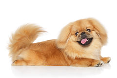Pekingese dog in front of white background. Pekingese dog lying in front of white background Stock Image