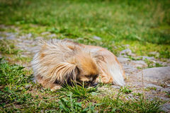 Pekingese dog on a grass Royalty Free Stock Images