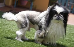 Pekingese. Dog with haircut lion looking at camera stock photo