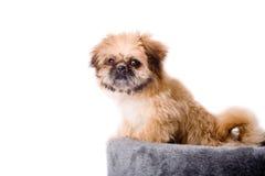Pekingese dog and his basket Royalty Free Stock Photo