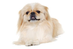 Pekingese dog isolated on a white background Royalty Free Stock Photography