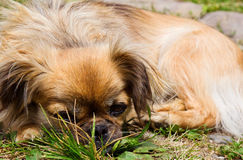 Pekingese dog is laying on a grass Royalty Free Stock Photography