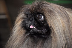 Pekingese dog Stock Image