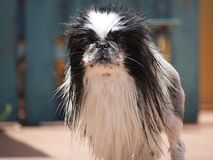 Pekingese. Dog looking at camera royalty free stock image