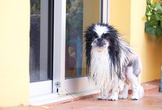 Pekingese. Dog looking at camera stock photography