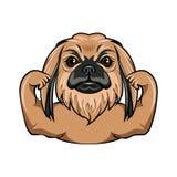 Pekingese dog. Muscles. Muscular dog. Dog portrait. Vector. Pekingese dog. Muscles. Muscular dog. Dog portrait. Vector illustration Royalty Free Stock Photos