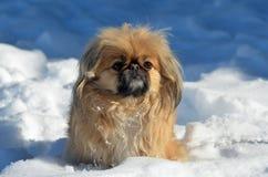 Pekingese dog Stock Image