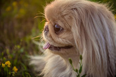 Pekingese dog on nature Stock Images