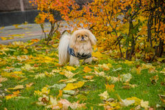 Pekingese dog on nature stock photos