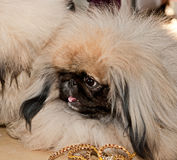 Pekingese dog Stock Photography