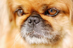 Pekingese dog portrait Stock Images