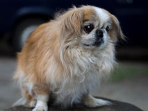 Pekingese dog. In profile on a green background Stock Image