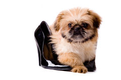 Pekingese dog with pumps Stock Photography