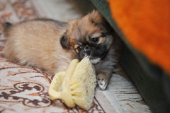 Pekingese dog running in the home Royalty Free Stock Photos