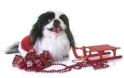 Pekingese dog in studio Stock Photos