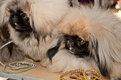 Pekingese dogs Royalty Free Stock Images