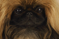 Pekingese enfrenta Fotos de Stock Royalty Free