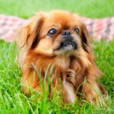 Pekingese Stock Photography