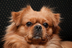 Pekingese face Stock Photos