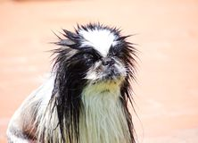 Pekingese. Face to pekinese dog with hair wet stock images