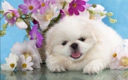 Pekingese and flowers Stock Photos