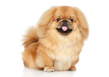 Pekingese happy dog Stock Images