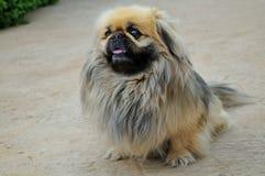 Pekingese hond Royalty-vrije Stock Foto's