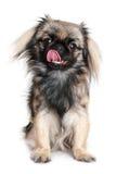 pekingese hund royaltyfria bilder