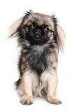pekingese hund Arkivfoto