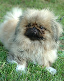 pekingese hund fotografering för bildbyråer