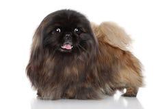 pekingese hund Royaltyfria Foton