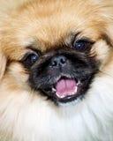 pekingese hund arkivfoton