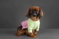Pekingese Hund Lizenzfreies Stockbild