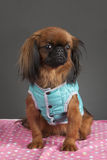 Pekingese Hund Stockfoto