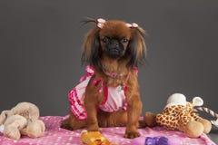 Pekingese Hund Stockbilder
