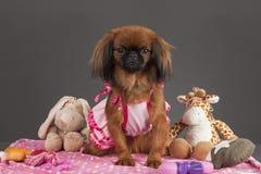 Pekingese Hund Lizenzfreie Stockfotografie