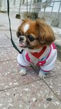 pekingese hund Royaltyfri Bild