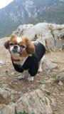 pekingese hund Arkivbild