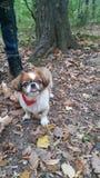 pekingese hund Arkivbilder