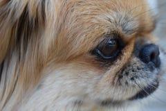 pekingese hund Royaltyfri Foto