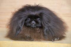 Pekingese hund för gullig valp Arkivfoton