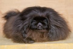 Pekingese hund för gullig valp Fotografering för Bildbyråer